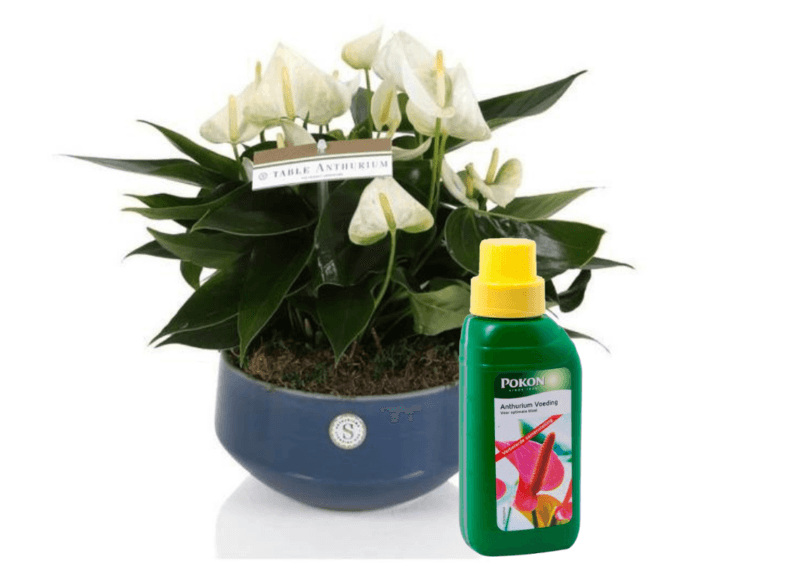 How to use Anthurium fertilizer: here are some tips