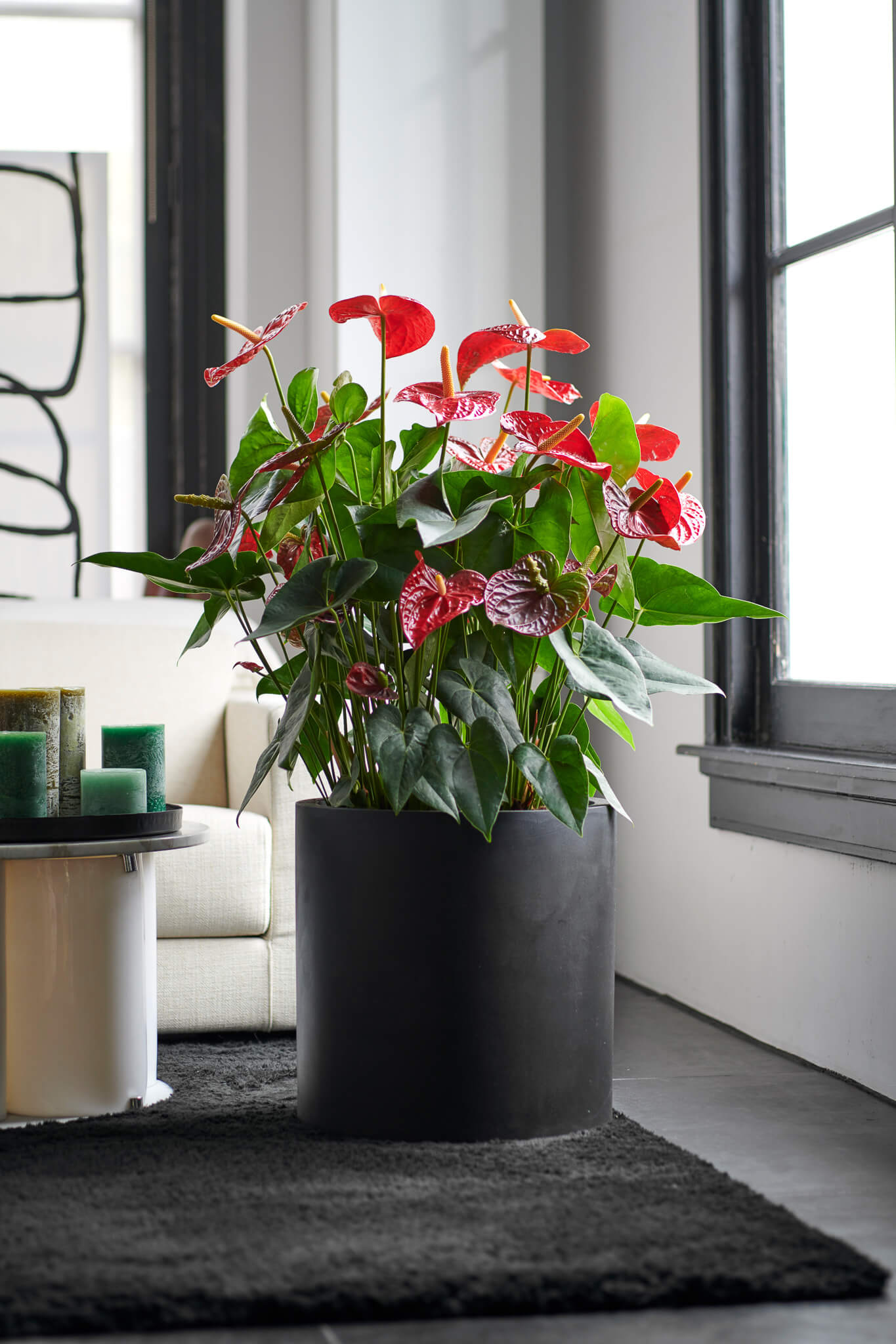 Dag kerstboom, hallo anthurium kamerplant!