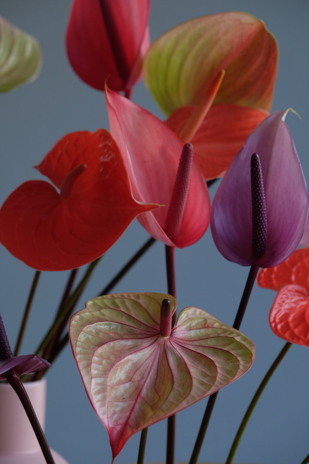 Anthurium flowers in 3 entirely different interiors