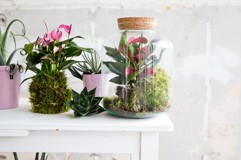 4 manieren om de mini-anthurium in huis te halen