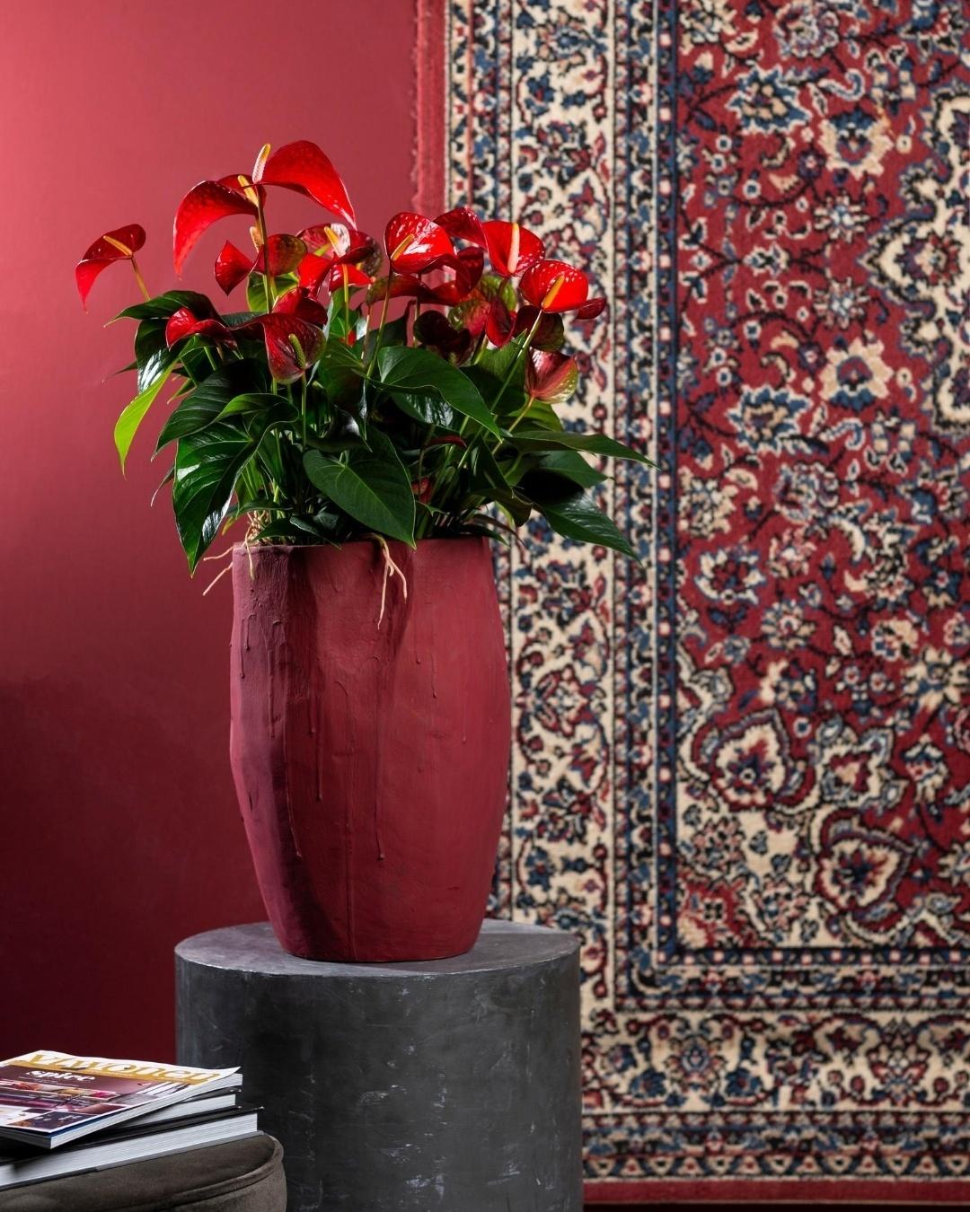Dit zijn de nieuwste anthurium snijbloemen en potplanten