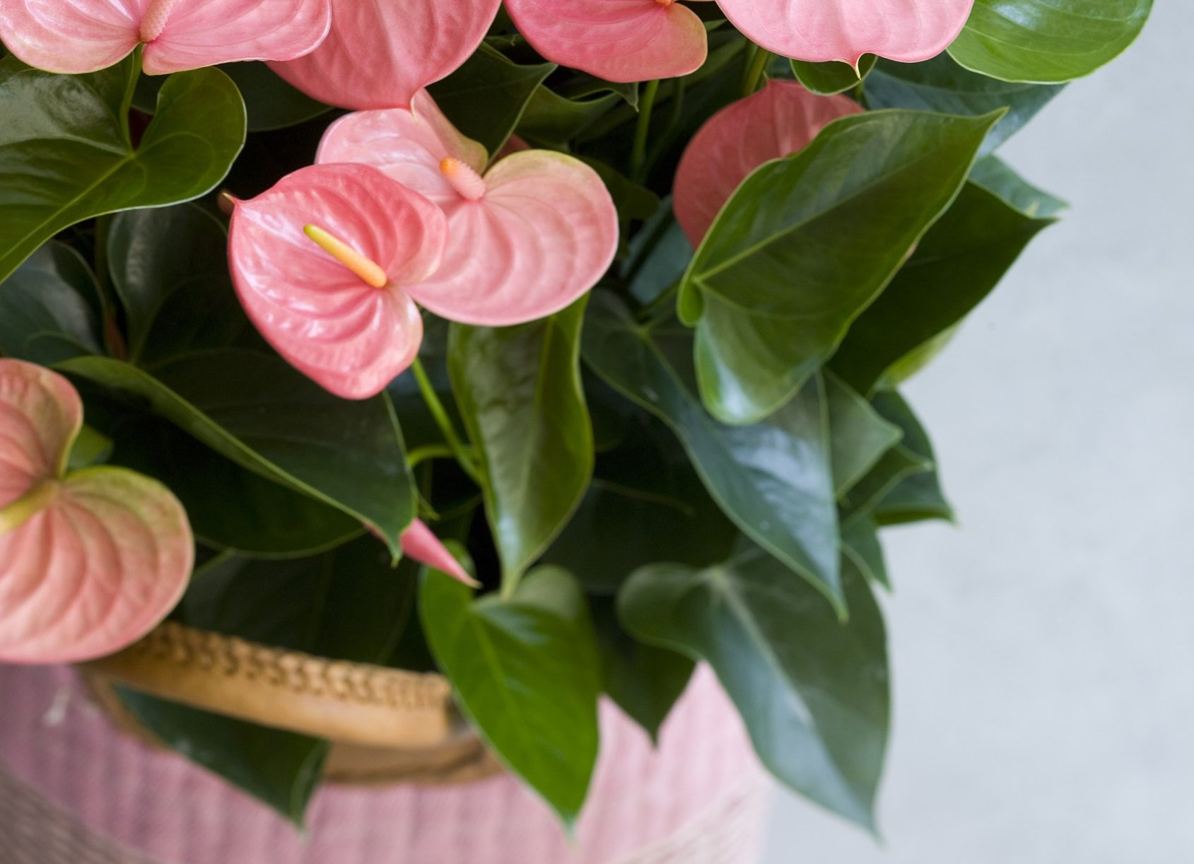 These are last year's most-read articles on Anthurium Info