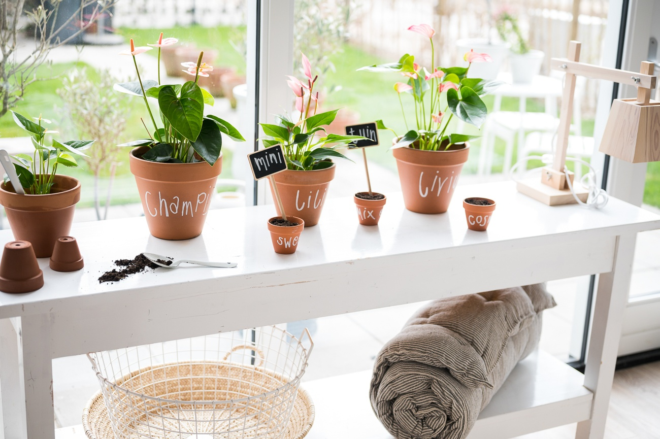 How to propagate Anthuriums by cuttings?