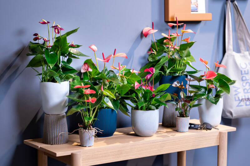 How to brighten up your home office with colourful Anthuriums